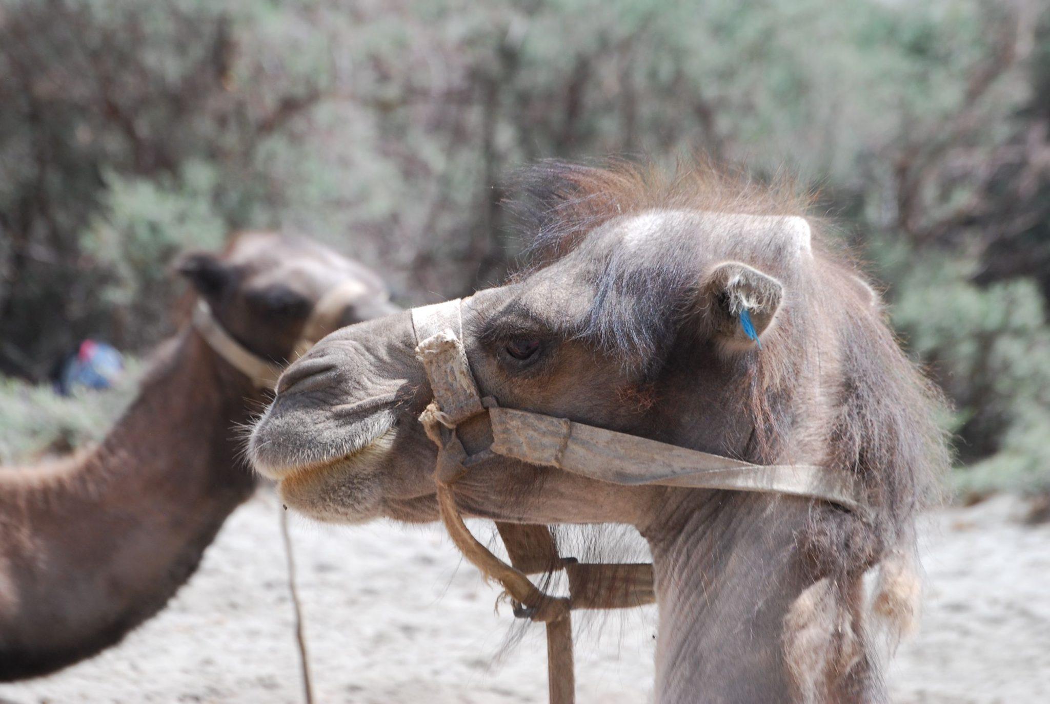 Camels That Live In Snow Nubra Camels