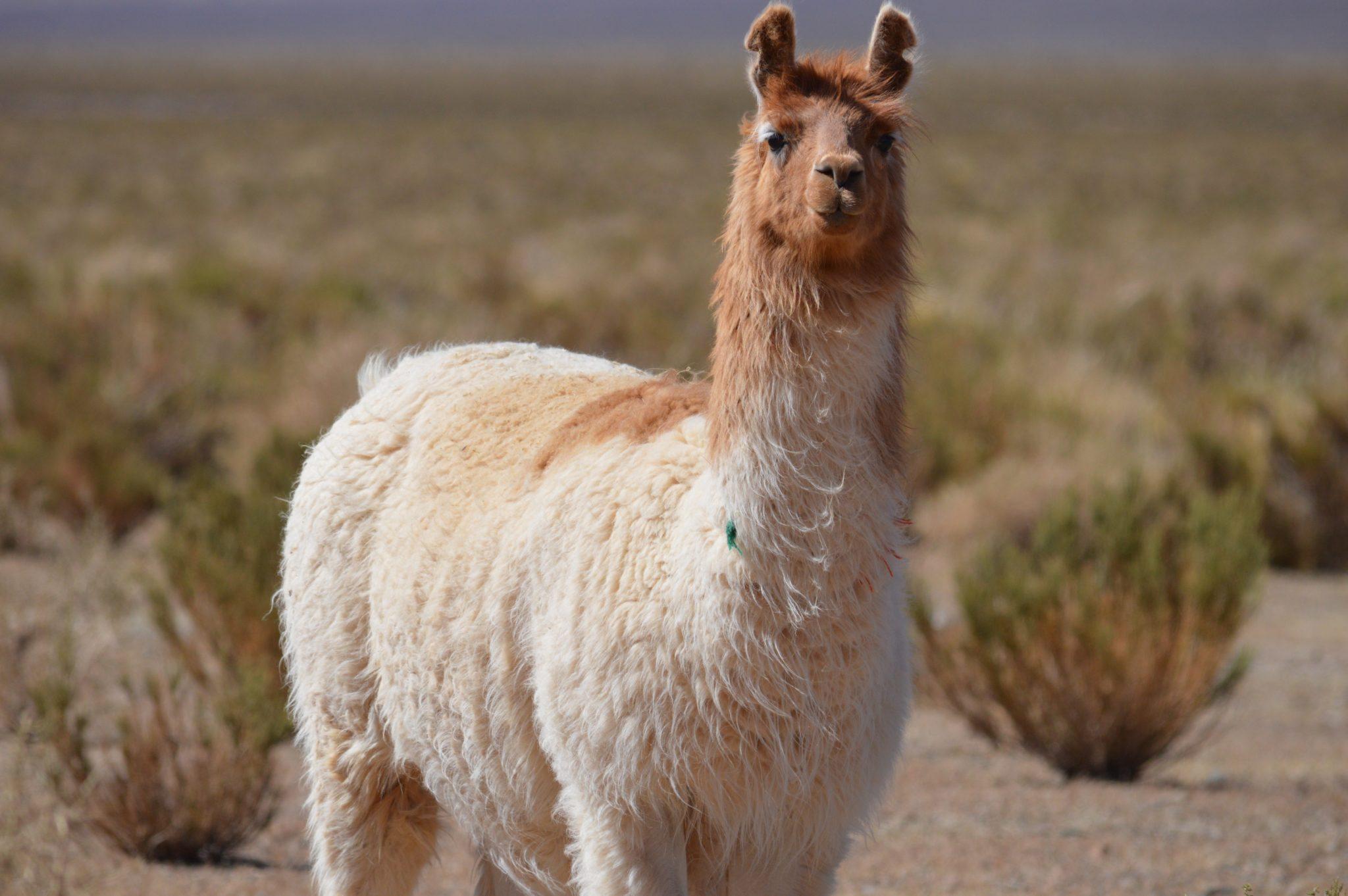 N Argentina Sheila 39 S Favorite Llamas And Guanacos