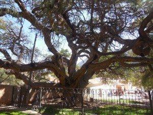 1,000 year old Algarrobo tree, Purmamarca, Argentina